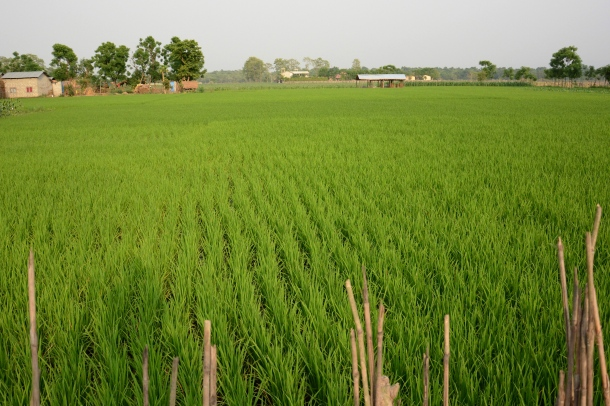z amazing green rice fields in tharu village.JPG