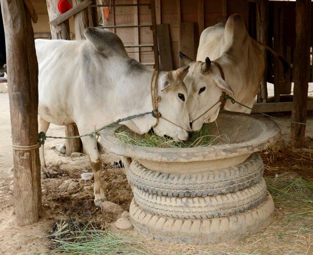 z bull share food