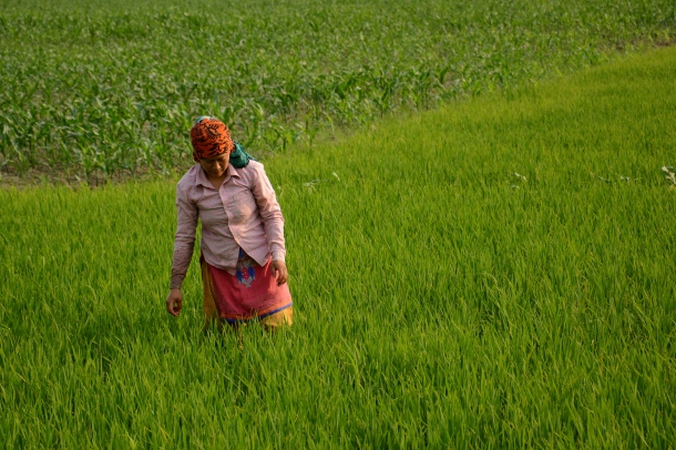 z colourful woman on field of rice.JPG