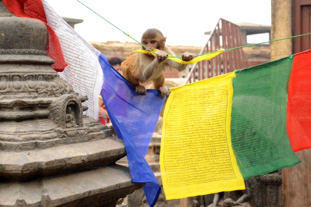 2 Swayambhu monkey