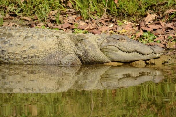 z amazing crocodile profile