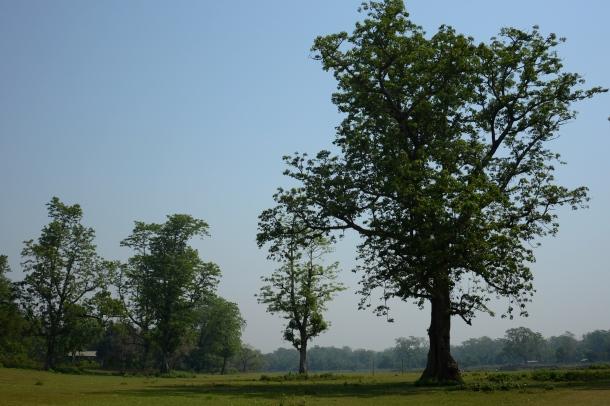 z cottom silk tree