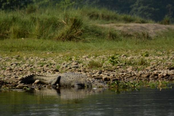 z crocodile chilling