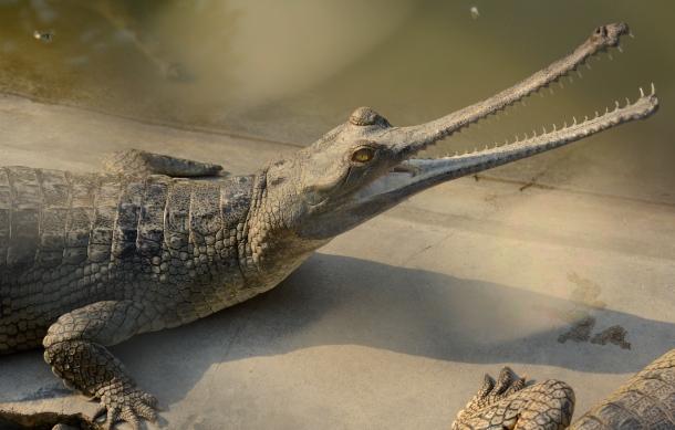 z gharial croc.JPG