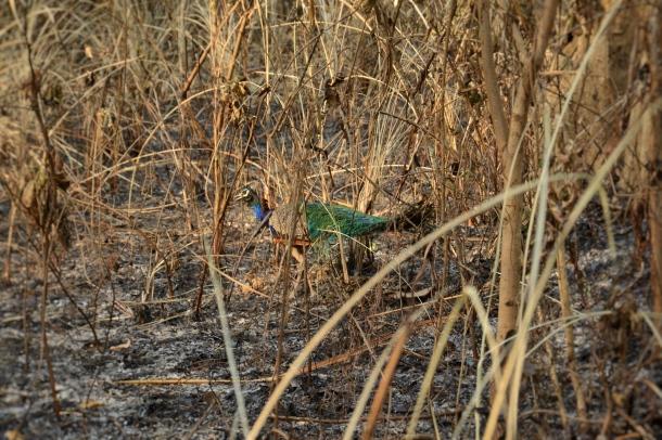 z spot the wild peacock.JPG