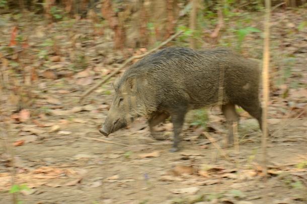 z wild boar.JPG