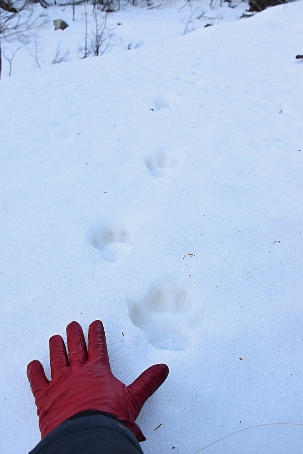 h-wolf-paws-on-snow